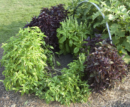 Several Varieties of Basil Growing