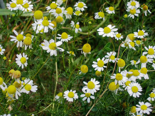 How To Grow Chamomile | Herb Gardening Guide