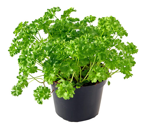 Herb Gardening Guide | Information How To Grow Parsley