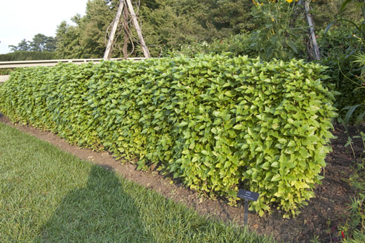 Basil Plants Are Easily Trimmed To Form Hedges