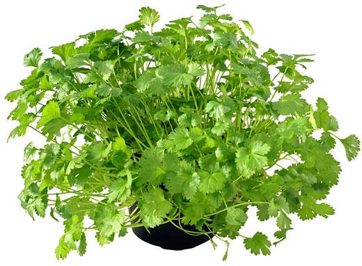 How To Grow Cilantro / Coriander   Herb Gardening Guide