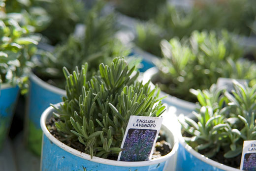 English Lavender Young In Pots