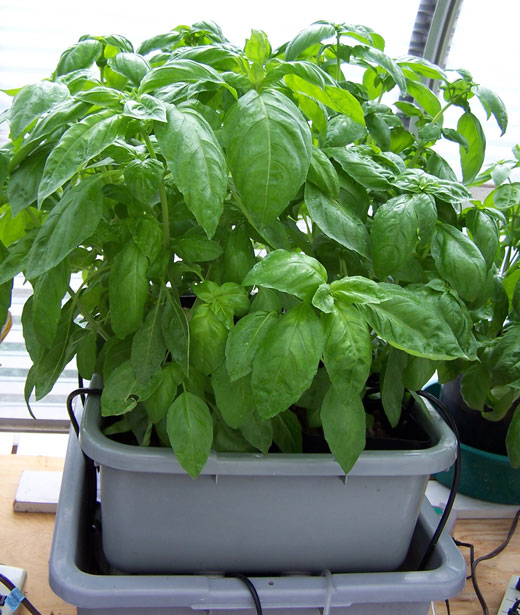 How To Grow Herbs in Hydroponics | Herb Gardening Guide